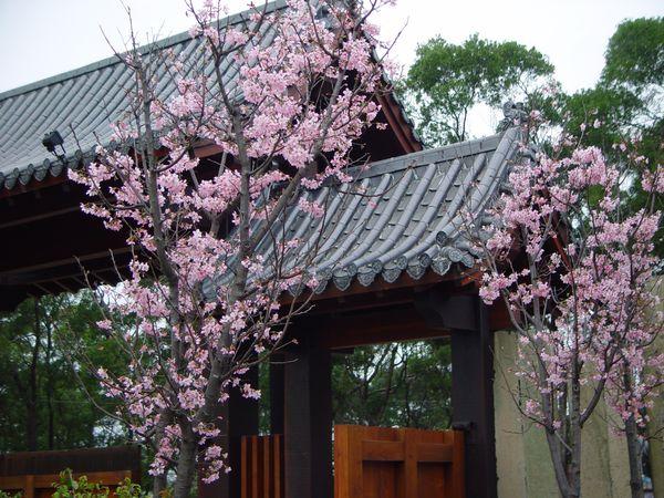 緣道觀音廟門口吉野櫻花樹