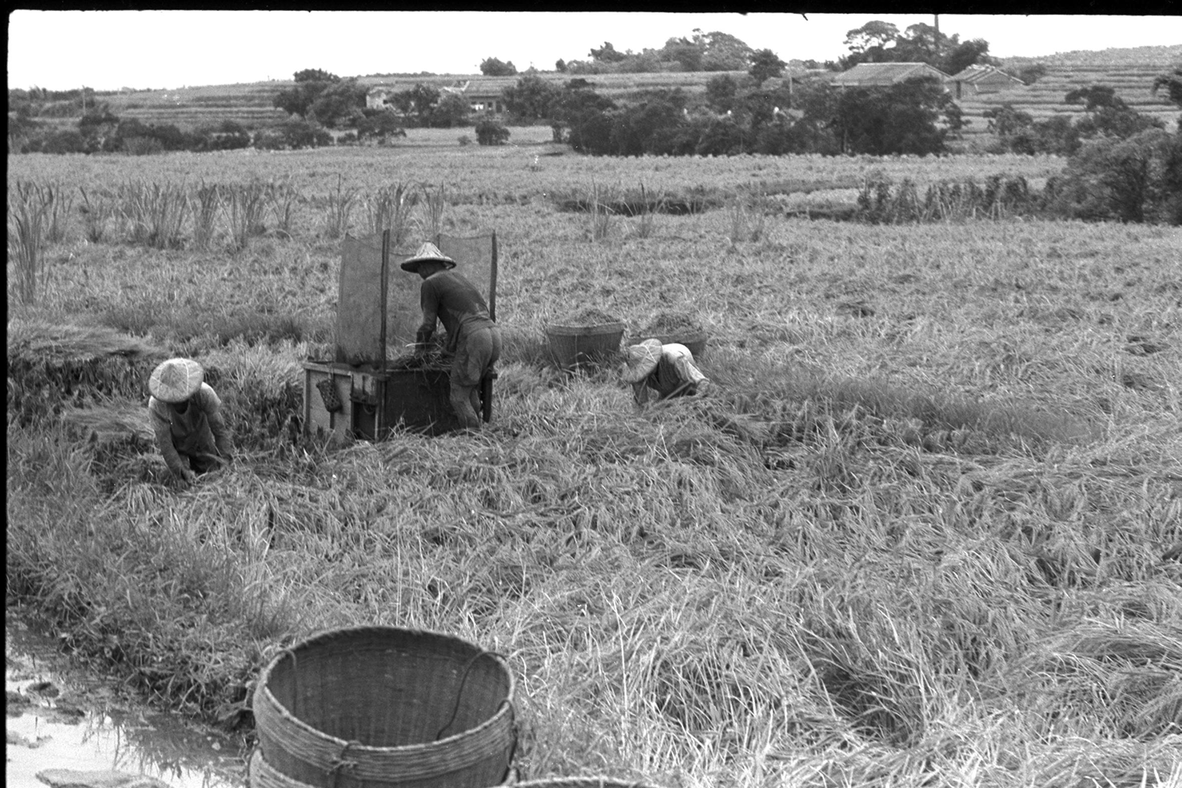 割稻脫殼好收成 1970