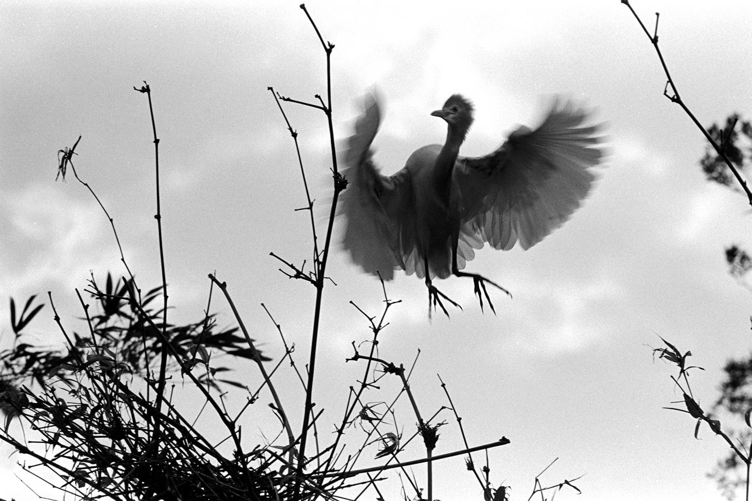 雛鳥學飛雙翅展 1973.4.26